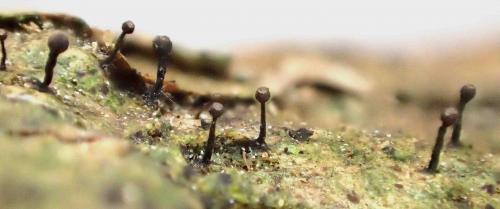 Lice operculata