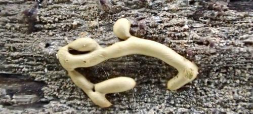 Perichaena vermicularis