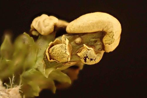 Diderma ochraceum