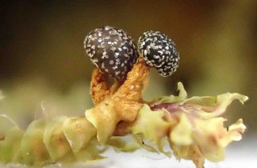 Lepidoderma tigrinum
