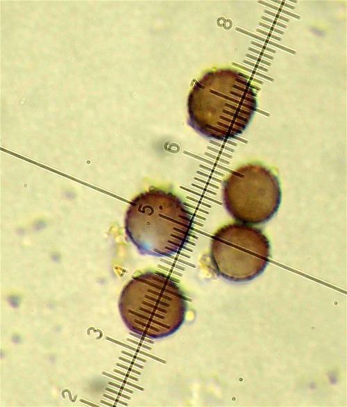 Crat conc spores