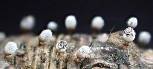 Craterium leucocephalum