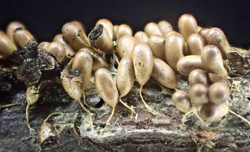 Leocarpus fragilis 1