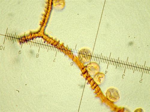 A incarnata micro