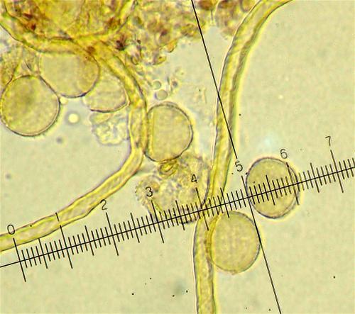 H leiotricha spores