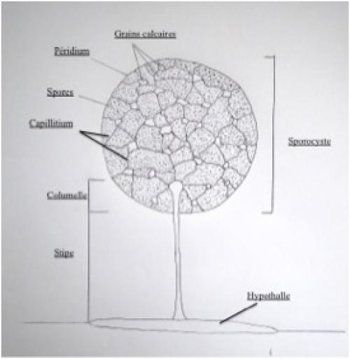 Schéma sporocarpe
