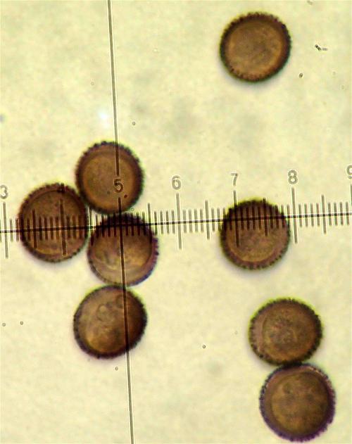 mer spin spores 1