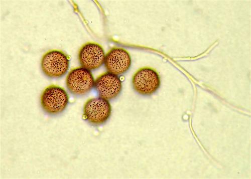 did euro spores1