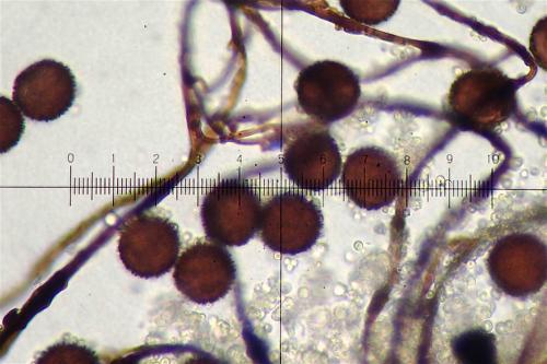 did fal spores 2