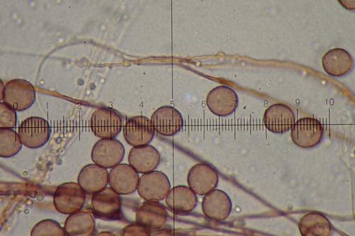 3266-spores-cap