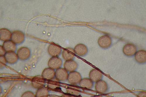 3266-spores-cap2
