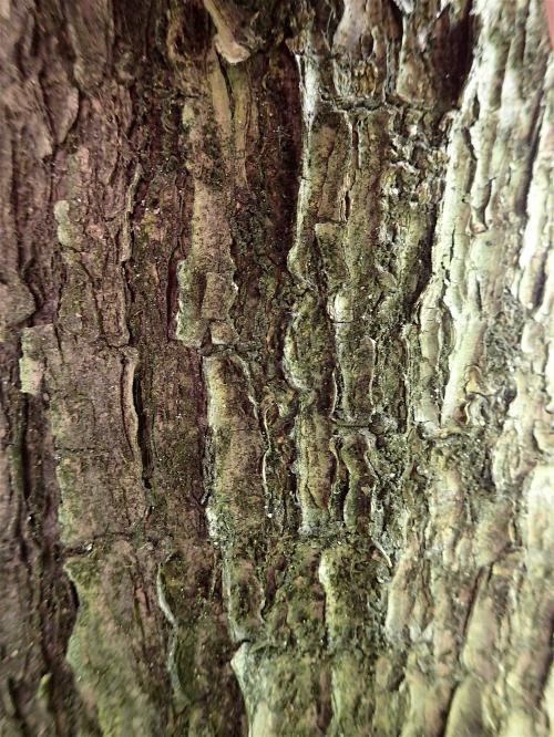 JBS-Ecorce-Ficus